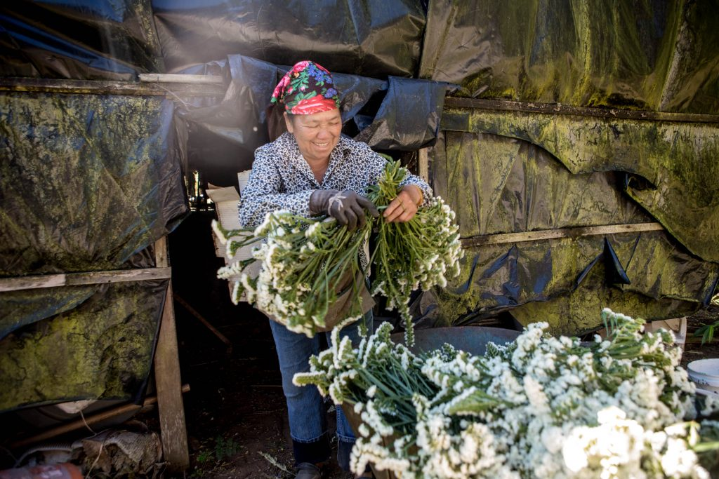 In this Market Story: Chue Chang hangs bundles in the hot house to dry.